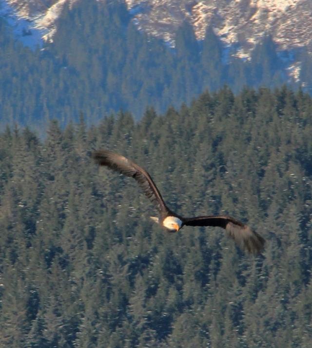IMG_8804_01_eagle in flight
